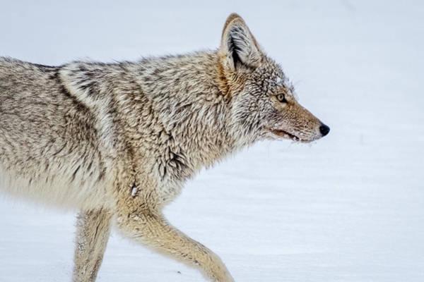 Photograph - Coyote Profile - Yellowstone by Stuart Litoff