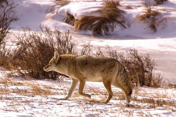 Photograph - Coyote Rocky Mountain National Park by NaturesPix