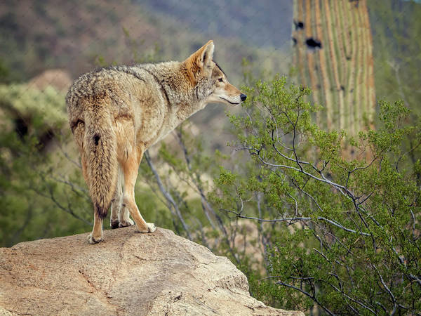 Photograph - Coyote by Tam Ryan