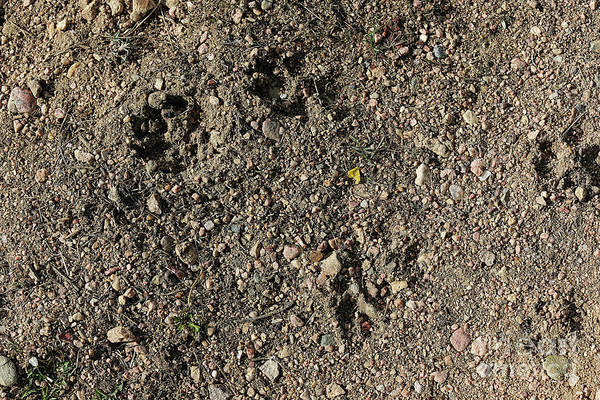 Photograph - Coyote Tracks by Jon Burch Photography