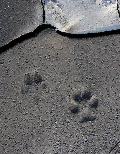 Photograph - Coyote Tracks by Mark Miller