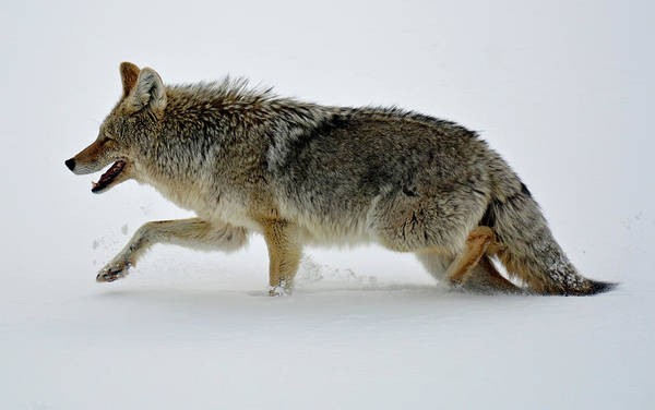 Photograph - Coyote Trotting In Yellowstone's Wonderland by Bruce Gourley