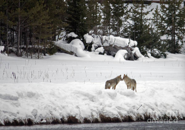 Photograph - Coyotes Saying Hello by Cindy Murphy - NightVisions