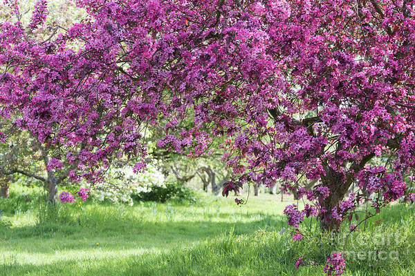 Malus Photograph - Crab Apple Liset Trees In Spring by Tim Gainey