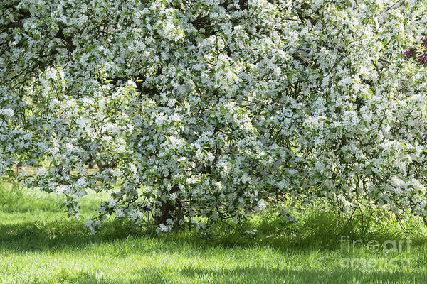 Malus Photograph - Crab Apple Red Siberian Tree by Tim Gainey