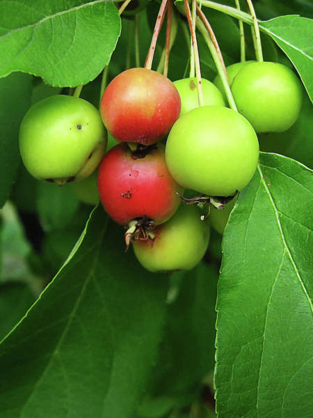 Photograph - Crab Apples by Tatiana Travelways