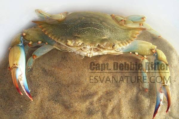 Photograph - Crab Blue 100_3165 by Captain Debbie Ritter