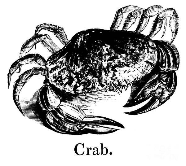 Backdrop Drawing - Crab by English School