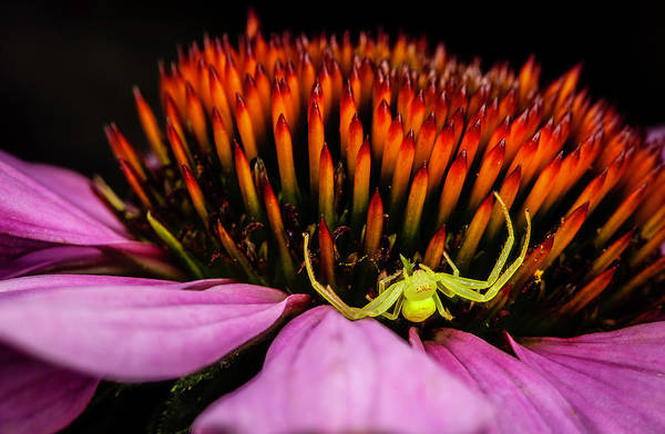 Photograph - Crab Spider On Echinacea Blossom by Gary Shepard