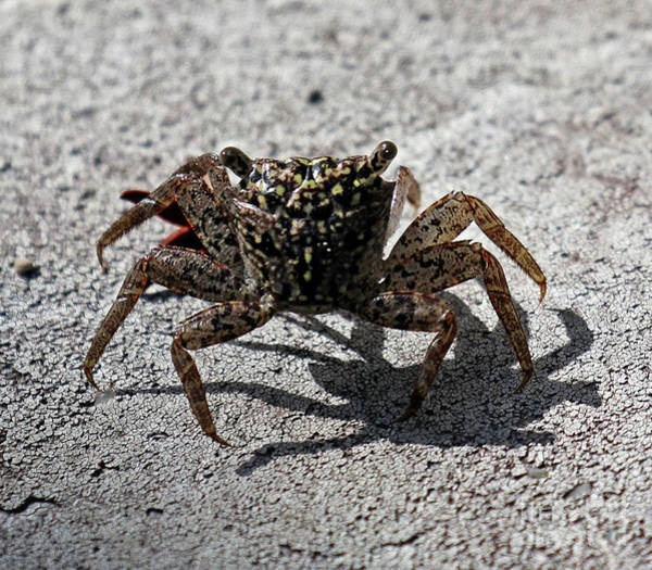 Photograph - Crab Walk by Jennifer Robin