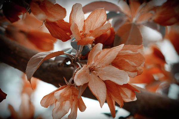 Photograph - Crabapple Blossom Orange by Donna L Munro