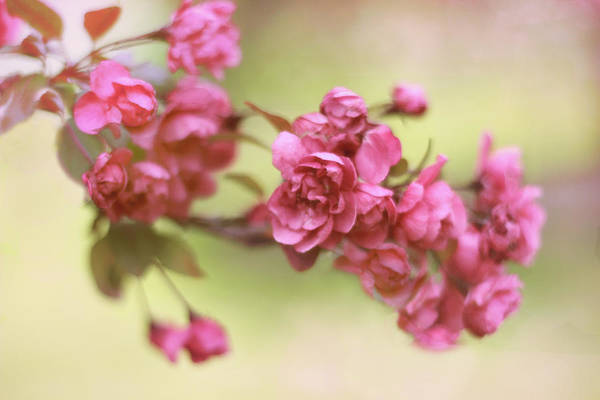 Photograph - Crabapple Blossoms 2 by Jessica Jenney