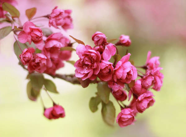 Photograph - Crabapple Blossoms by Jessica Jenney