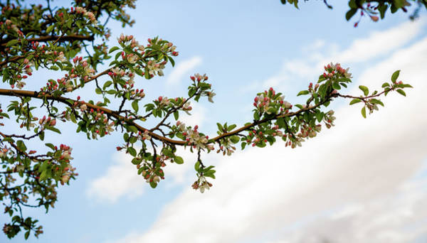 Photograph - Crabapple Blossoms  by TL Mair