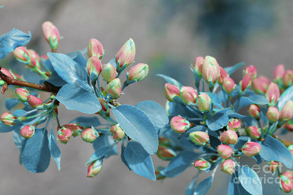 Photograph - Crabapple Blue Leaves by Donna L Munro