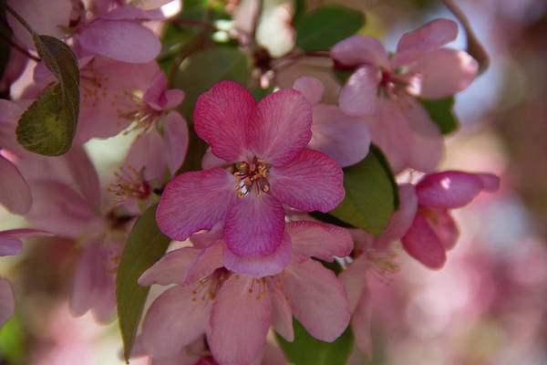Photograph - Crabapple Cerise by Marie Leslie