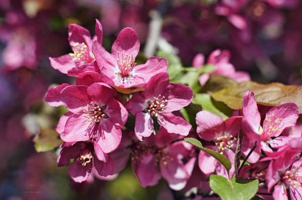 Photograph - Crabapple In Bloom by Cricket Hackmann