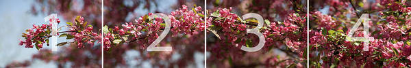 Crabapple In Spring Panoramic Map Art Print
