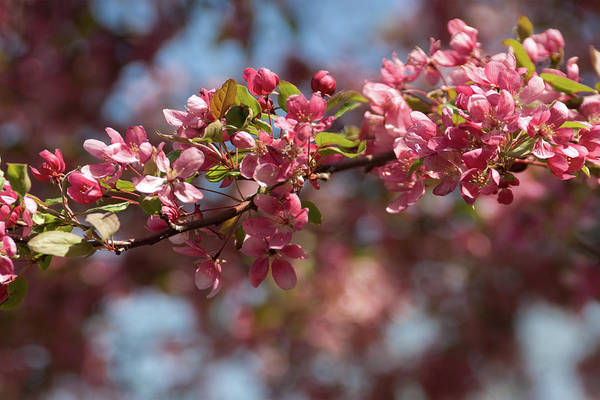 Photograph - Crabapple In Spring Section 2 Of 4 by Michael Bessler
