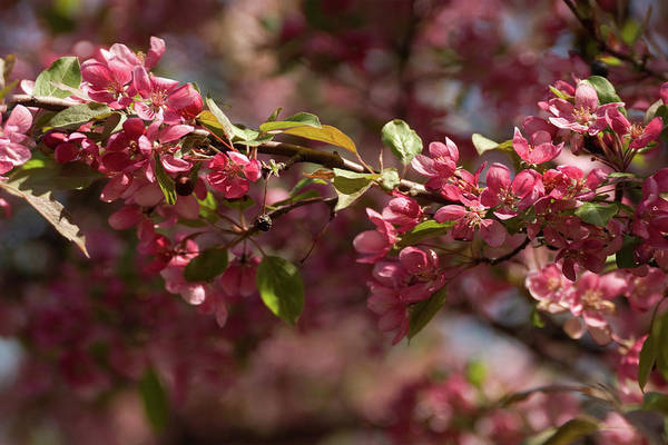 Crabapple In Spring Section 3 Of 4 Art Print