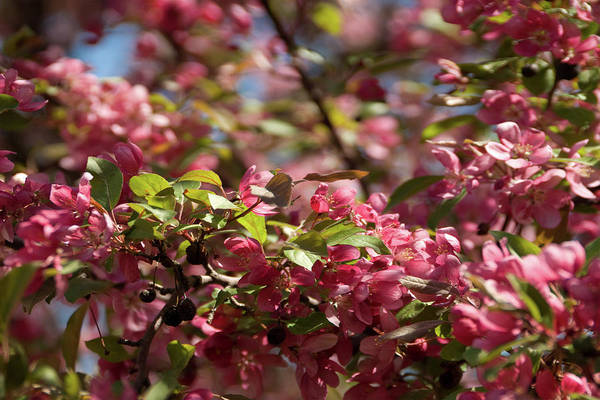 Crabapple In Spring Section 4 Of 4 Art Print