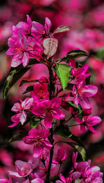 Photograph - Crabapple Tree Blossoms by Dale Kauzlaric