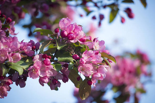 Photograph - Crabapple Tree Blossoms by Jemmy Archer