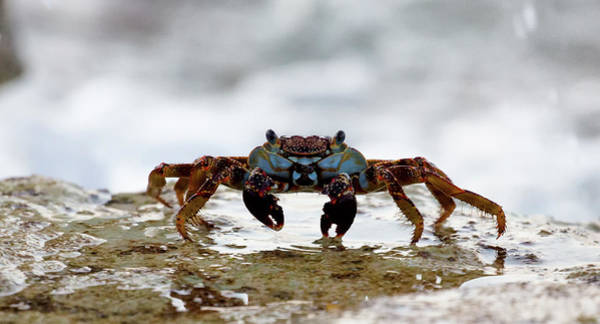 Art Print featuring the photograph Crabby by David Buhler