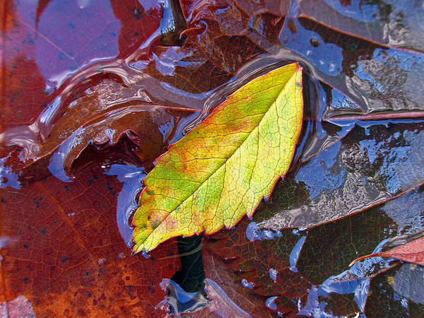 Photograph - Cradled Leaf by Juergen Roth