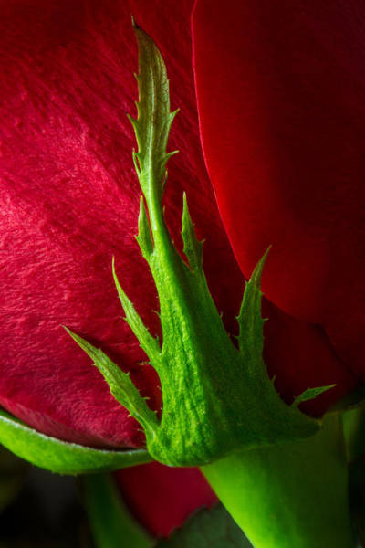 Wall Art - Photograph - Cradling A Red Rose  by Dale Kincaid