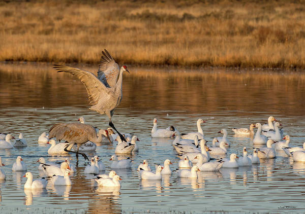 Photograph - Crane And Geese Fellowship by Judi Dressler