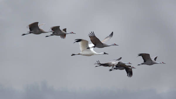 Photograph - Cranes Flying by Susan Rissi Tregoning