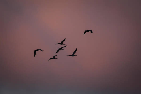 Photograph - Cranes Heading To Roost by Jeff Phillippi