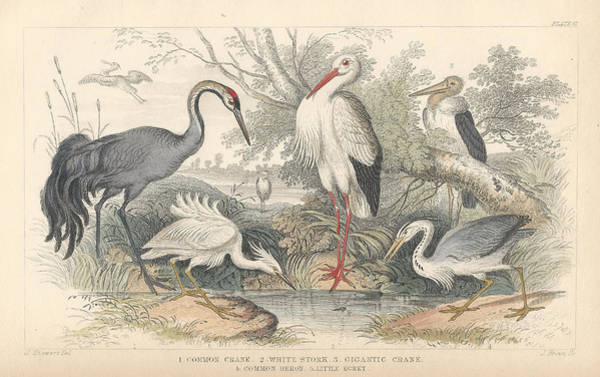 Wall Art - Drawing - Cranes by Dreyer Wildlife Print Collections