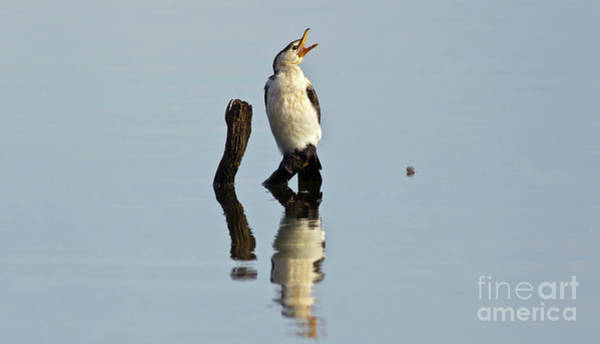 Wall Art - Photograph - Cranky Cormorant by Bill Robinson