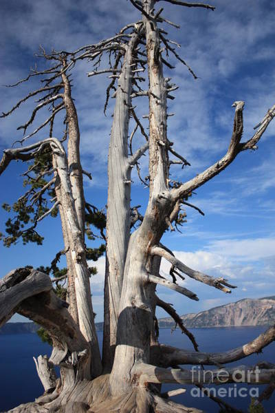 Photograph - Crater Lake Tree by Carol Groenen