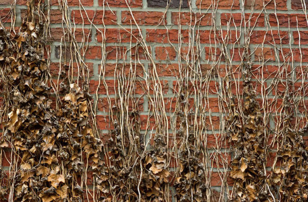 Photograph - Crawling Ivy Vines by Cate Franklyn