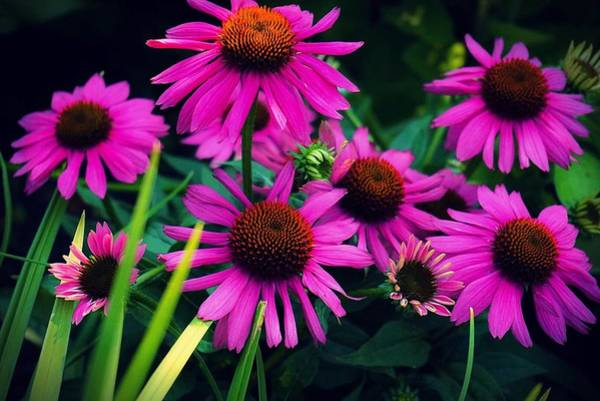 Photograph - Crazy For Coneflowers by Kendall McKernon