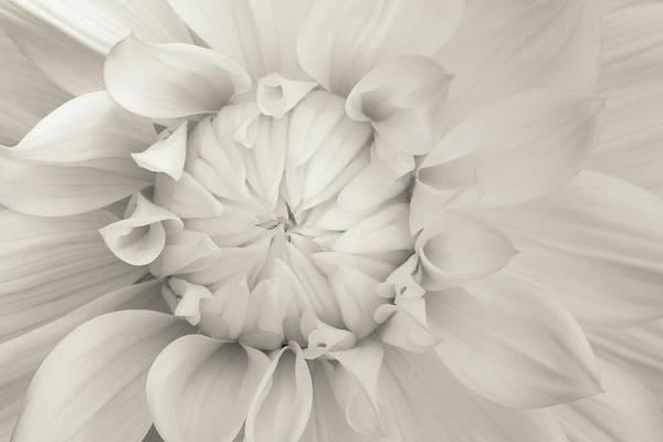 Wall Art - Photograph - Cream Chrysanthemum by Lucid Mood