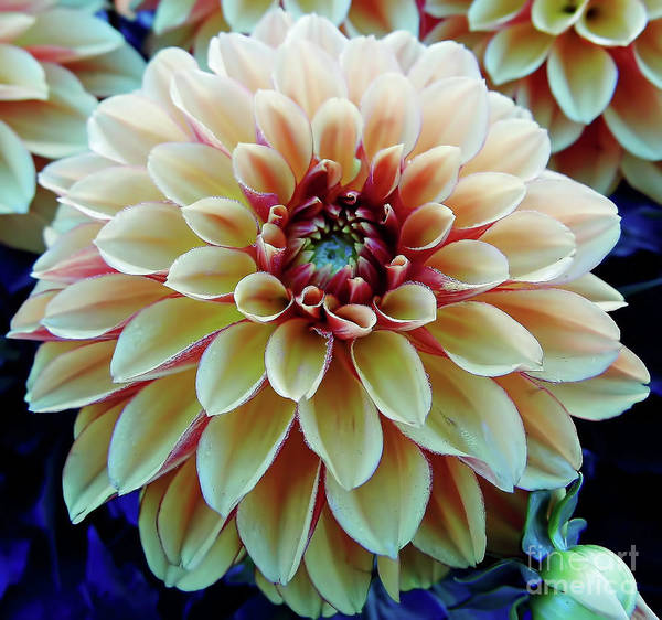 Photograph - Cream Colored Dahlia by D Hackett