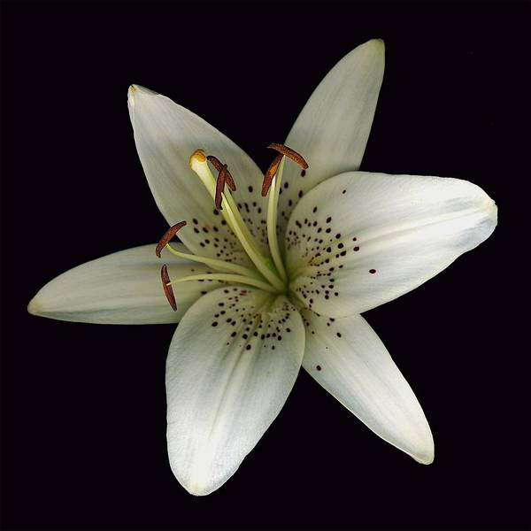 Photograph - Cream Lily by Deborah J Humphries