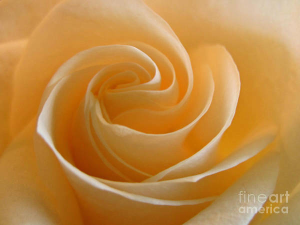 Photograph - Cream Rose by Kelly Holm