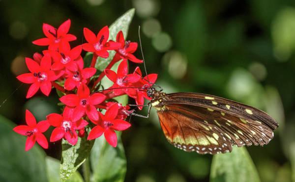 Photograph - Cream-spotted Tigerwing Jardin Botanico Del Quindio Colombia by Adam Rainoff