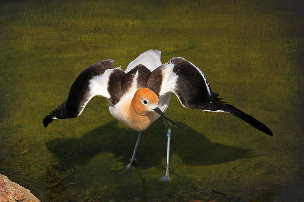 Shorebird Photograph - Creating A Diversion by Donna Kennedy