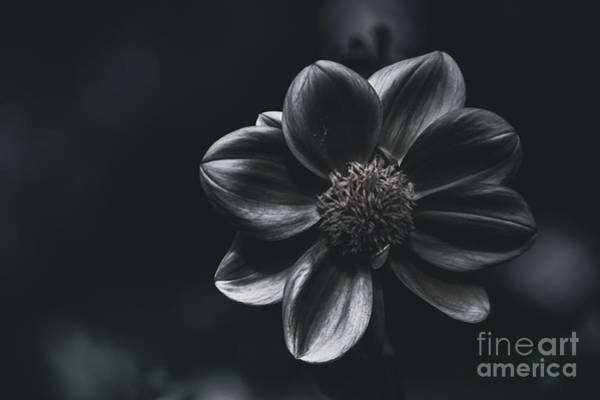 Photograph - Creative Fine Art Flower. The Black Dahlia by Jorgo Photography - Wall Art Gallery