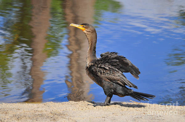 Double Crested Cormorant Photograph - Creekside Cormorant by Al Powell Photography USA