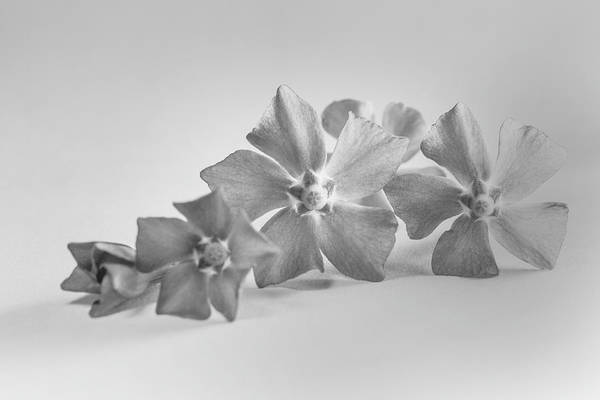 Wall Art - Photograph - Creeping Periwinkle Myrtle Black And White by Iris Richardson