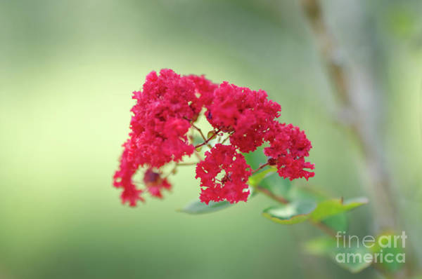 Photograph - Crepe Myrtle Spring Blooming  by Dale Powell