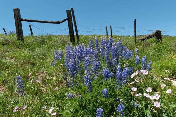 Photograph - Crested Butte Lupine And Fence Detail by Cascade Colors
