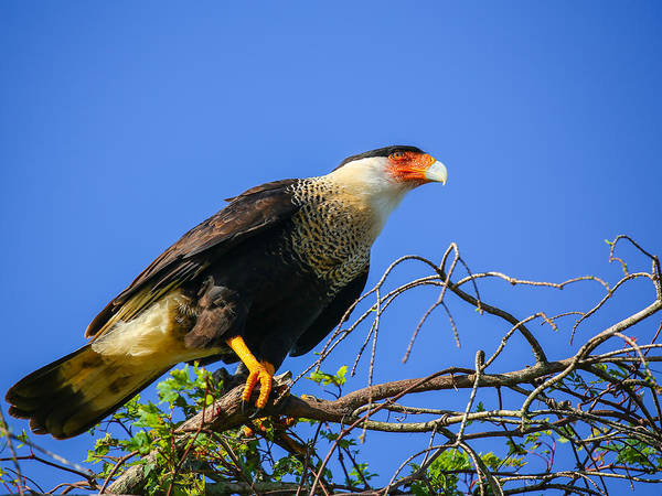 Photograph - Crested Caracar by Dart and Suze Humeston